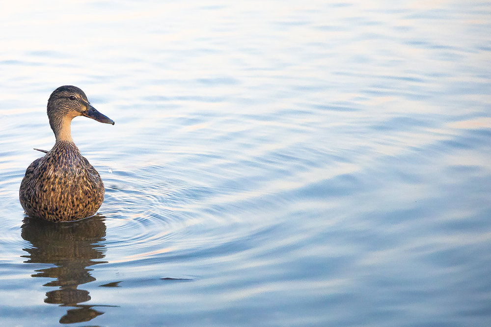 Duck.thumb.jpg.1ffe6998c02714055cd88637b98b1f3f.jpg