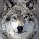 Wolf 79